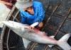 3 cá mập phá rách lưới, chạy thoát ra biển