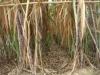 Bị thiệt đủ đường, nông dân muốn bỏ nghề trồng mía